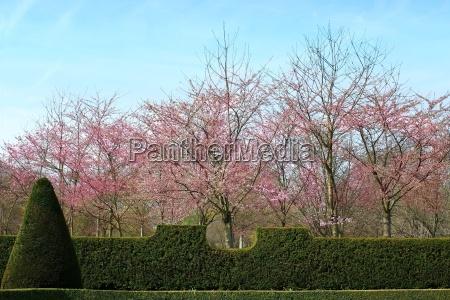 park garden plant spring cherry blossom