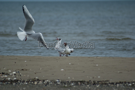 gulls at sea national boddenlandscape ger