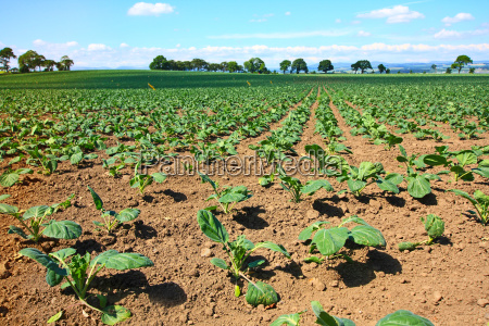 brussels sprouts field
