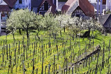 vineyard in stetten