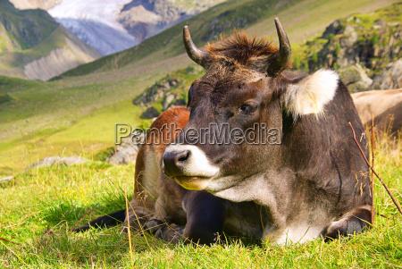 almkuh alp cow 24