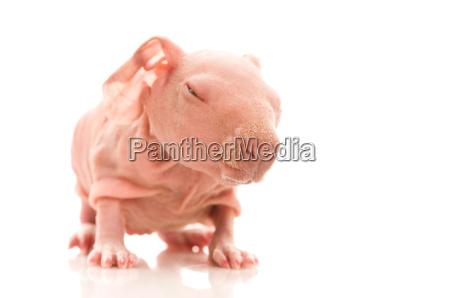 skinny guinea pig on the white
