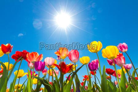 tulipaner i solen