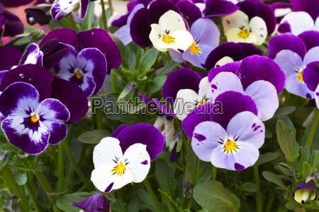 horn violet viola cornuta pansies