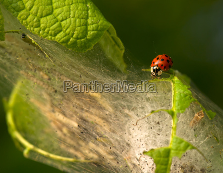 ladybug as pesticides