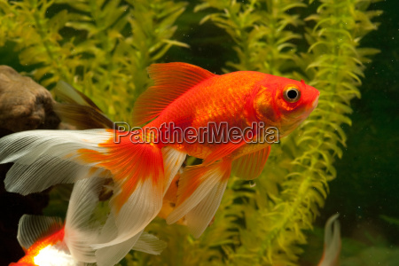 goldfish, carp, fish, (cyprinidae) - 4750002