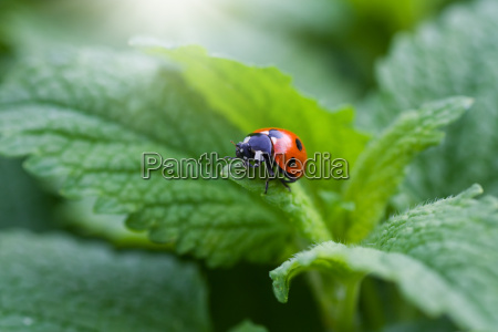 ladybug sitting on a leaf during