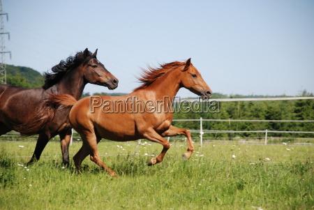 german riding ponies