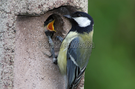 tit with young bird