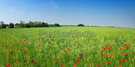 summer meadow with wild herbs and