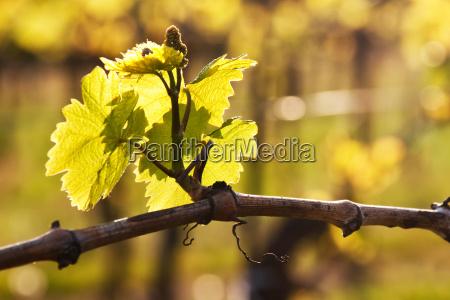 fresh shoot on the vine