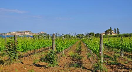 vineyard overlooking portoferraio