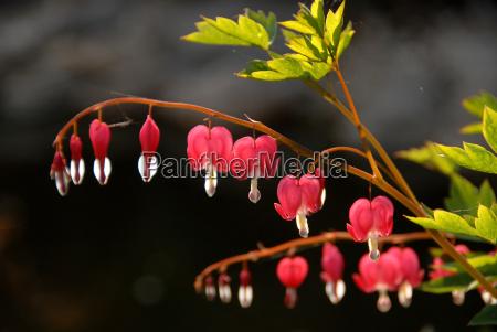 watery heart flowers