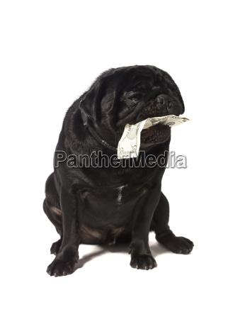black pug with dollar bills in