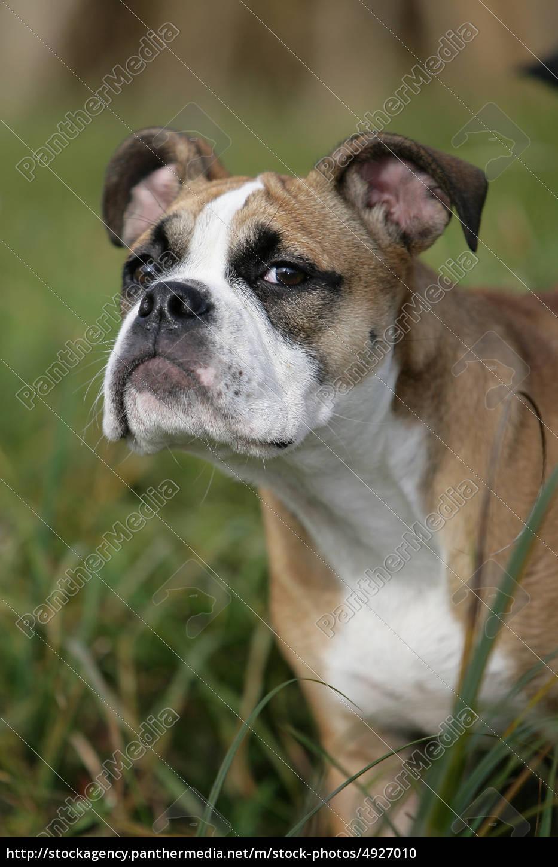 Continental Bulldog Puppy Stock Image 4927010 Panthermedia Stock Agency
