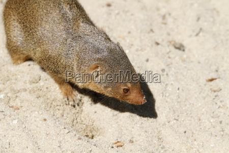 dwarf mongoose in closeup