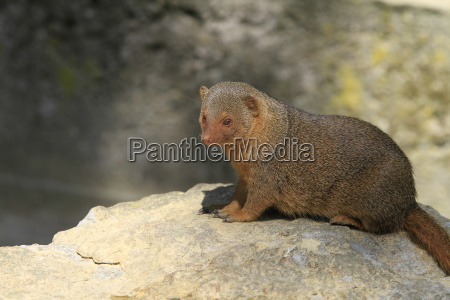 dwarf, mongoose, in, close-up - 4935476
