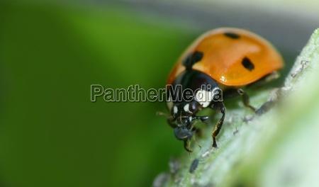 ladybug eats aphid