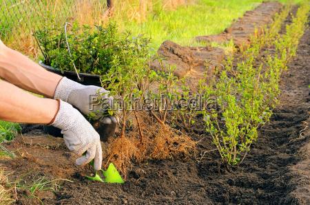 plant hedge planting a hedge 05