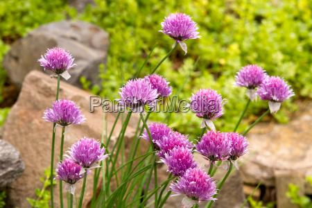 garlic chives flowers