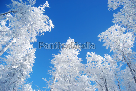 pines covered snow