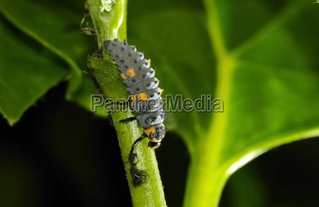ladybug with louse