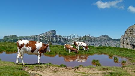 alps mirroring cows mountain lake salt