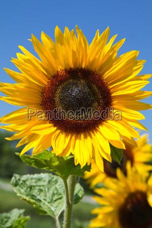 blooming sunflowers helianthus