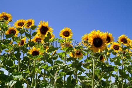 flowering sunflowers helianthus