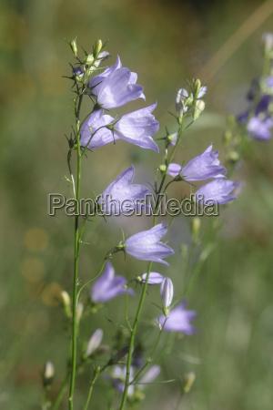 meadow bellflower