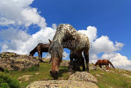 horses at the summit