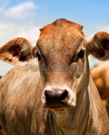 australian beef cattle young yearling cow