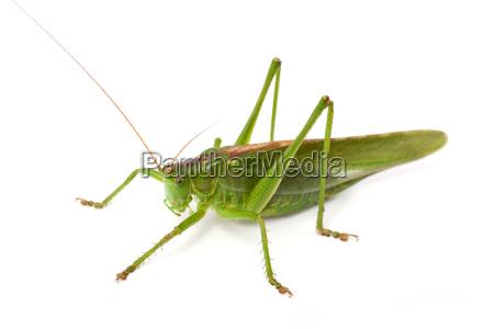 great green bush cricket tettigonia viridissima