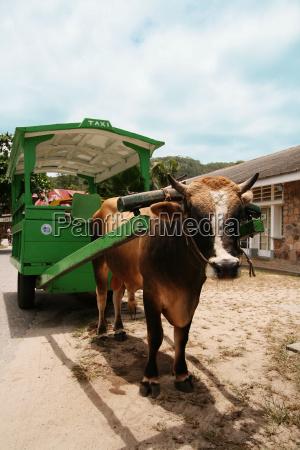 ox cart taxi