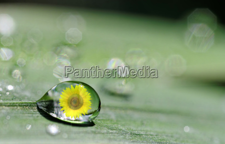drop and sunflower