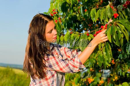 cherry tree harvest summer woman sunny