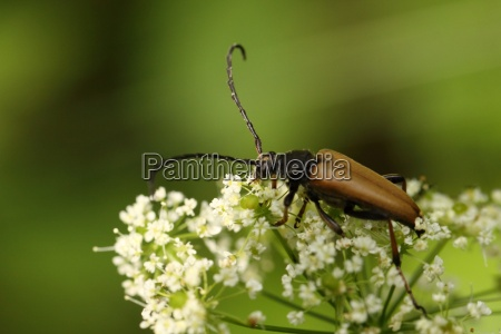 red necked bock common longhorn beetle