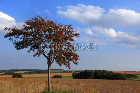 rowan in summer landscape