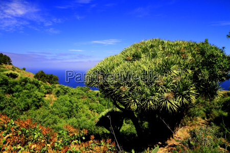 dragon tree in the foreground