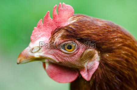 haed of a chicken