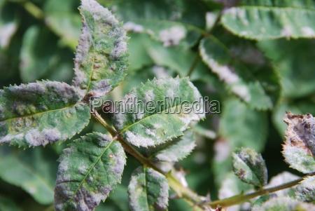 powdery mildew erysiphales plant diseases