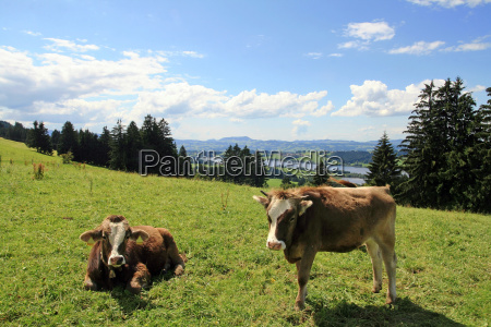 young cows on a allgaeu pasture