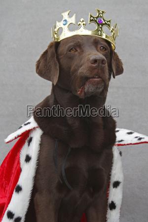 as king in disguise labrador