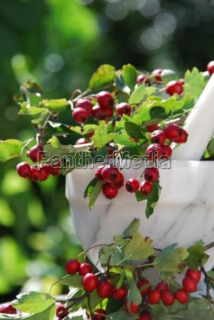 hawthorn crataegus berries medicinal plant