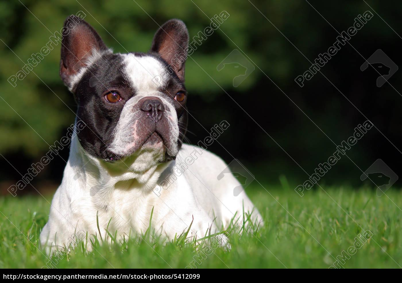 french, bulldog - 5412099