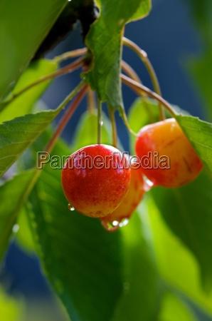 fresh cherries on cherry