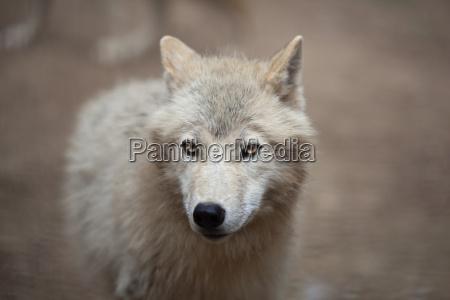 arctic wolf canis lupus arctos aka