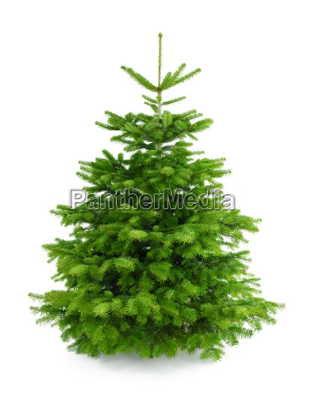 perfect dense fir tree on white
