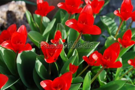 rote tulpen von oben