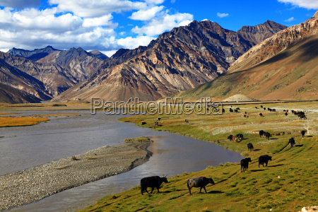 cattle zanskar valley india
